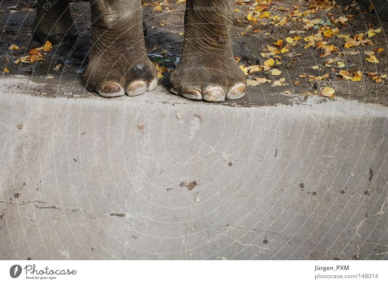 Leaf Autumn Feet Germany Concrete Might Zoo Edge Mammal Elephant Enclosure Berlin zoo Hagenbeck zoo