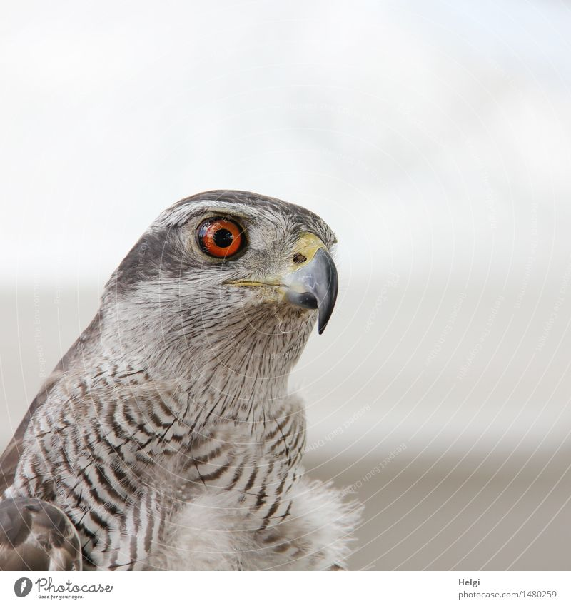 watch out... Environment Nature Animal Wild animal Bird Animal face Goshawk 1 Observe Looking Beautiful Uniqueness Natural Brown Gray White Contentment