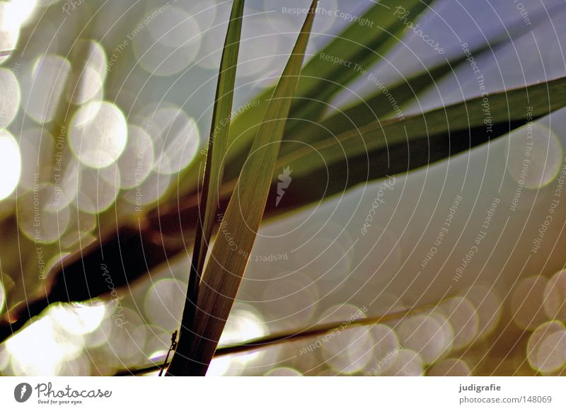grass Grass Common Reed Water Back-light Evening sun Glittering Lighting Nature Environment Plant Patch Point Reflection Beautiful Delicate Coast Lakeside Dream