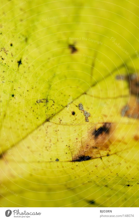 Plant Leaf Autumn Network To fall Botany Vessel Rachis Branched Autumnal Portrait format