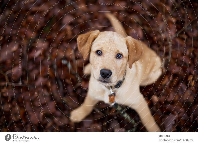 Dog Animal Baby animal Wait Cute Curiosity Trust Pet Labrador