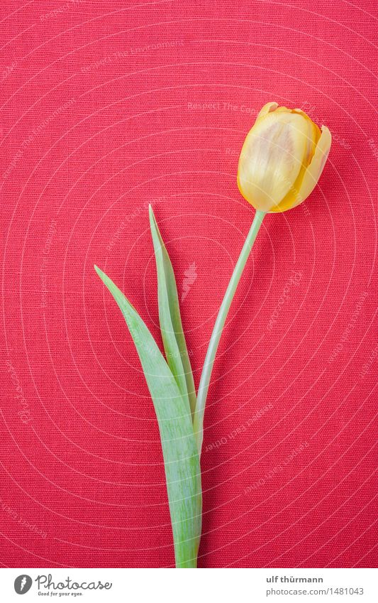 tulip Calm Flat (apartment) Decoration Room Living room Feasts & Celebrations Valentine's Day Mother's Day Easter Birthday Spring Plant Flower Tulip Leaf