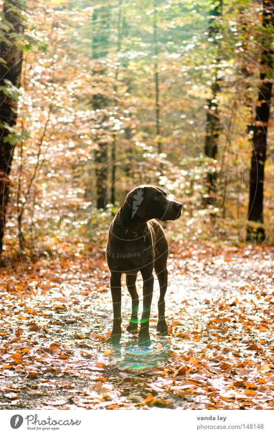 Nature Tree Leaf Animal Forest Autumn Freedom Dog Lanes & trails Bright Brown Rope Middle Hunting Footpath