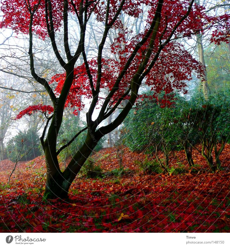 Nature Tree Green Plant Red Calm Leaf Colour Autumn Grass Park Fog Fresh Gloomy Bushes To go for a walk