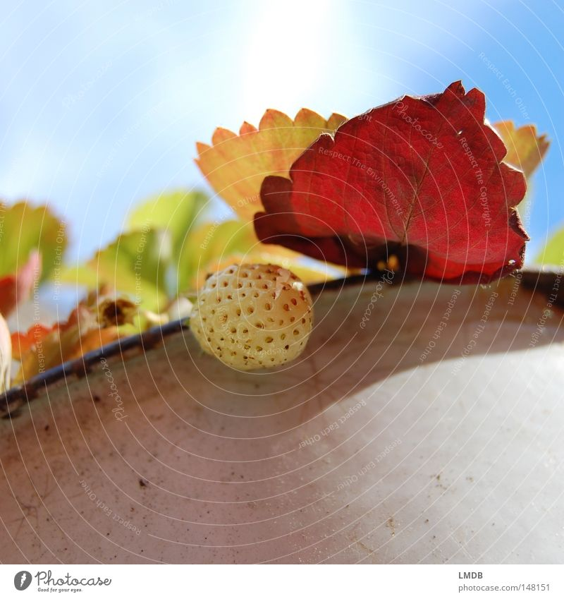 Strawberry in autumn mood Leaf Plant Sky Red Green Yellow Autumn September October Seasons Force Transience Pot Clouds Edge of a plate Back-light Pallid Albino