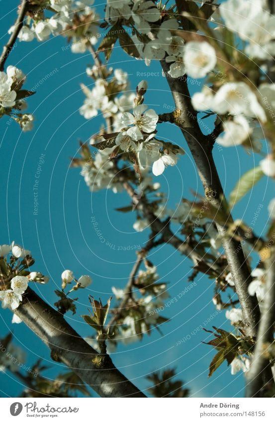 Sky Tree Life Blossom Spring Branch Blossoming Blue sky Wake up Stamen Cherry blossom Cherry tree Nectar