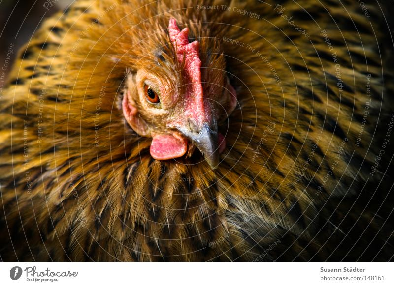 Beautiful Meadow Head Bird Lie Feather Sweet Egg Lunch Barn fowl Chinese Rooster Crest Tuft Animal