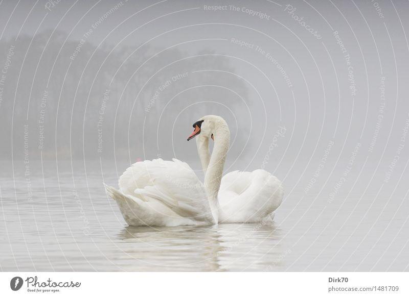 pair of swans Water Winter Fog Tree Forest Lakeside Pond Bird Swan Mute swan 2 Animal Pair of animals Rutting season Swimming & Bathing Dream Esthetic Elegant