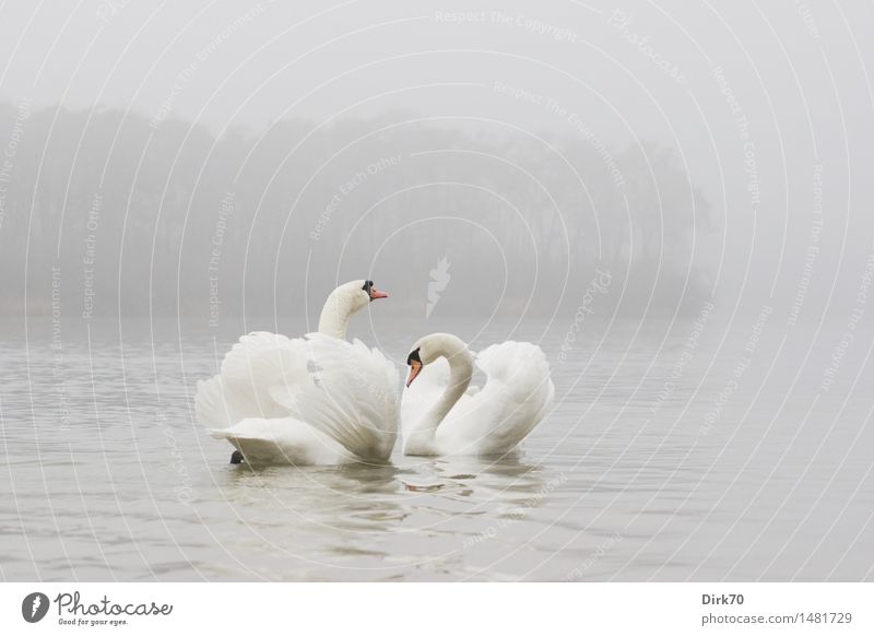 Animal Far-off places Winter Cold Love Swimming & Bathing Lake Together Fog Idyll Pair of animals Esthetic Wing Romance Attachment Pure