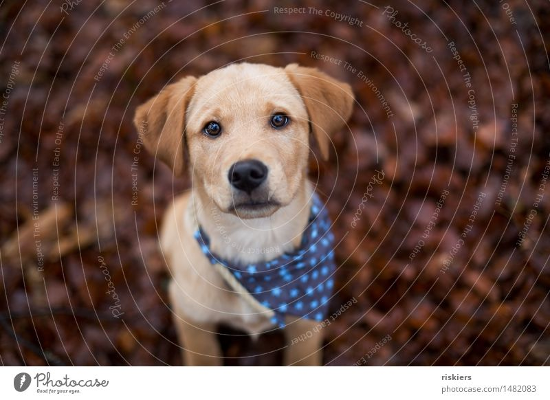 robber Environment Nature Autumn Forest Animal Pet Dog 1 Baby animal Observe Looking Wait Brash Friendliness Curiosity Cute Trust Watchfulness Puppy Labrador