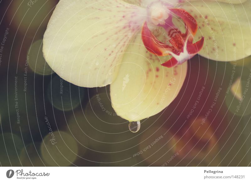 teardrop Orchid Flower Glittering Reflection Plant Blossom Drops of water Water Blossoming Colour Smooth Calm Tears