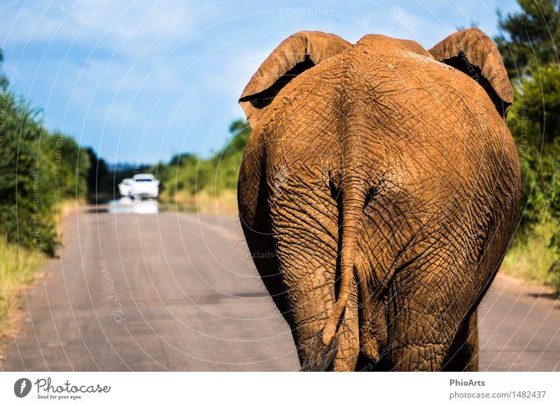 Elephant Crossing Environment Nature Plant Animal Sky Beautiful weather Motoring Traffic jam Street Wild animal 1 Stand Fat Brash Tall Funny Rebellious