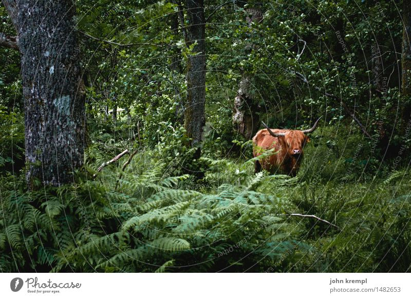 Scottish jungle cow Nature Tree Fern Forest Scotland Farm animal Cow Cattle Highland cattle 1 Animal Stand Threat Healthy Contentment Brave Trust Protection