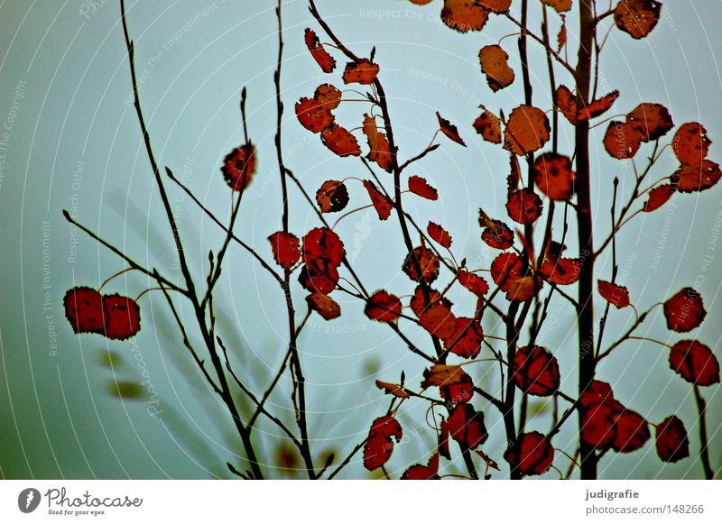 autumn Sunday Aspen Poplar Tree Leaf Autumn Colour Colouring Sky Gray Gloomy Fog Twig Branch Deciduous tree Cold Badlands Bleak Calm Sadness