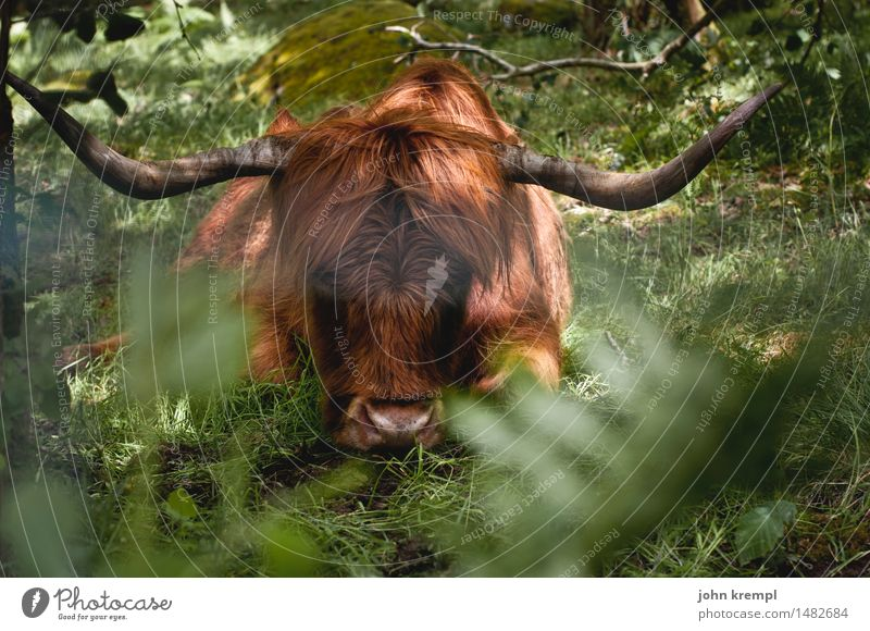 real character Nature Meadow Forest Scotland Pet Highland cattle 1 Animal Think Lie Friendliness Cuddly Muscular Brown Green Bravery Power Protection