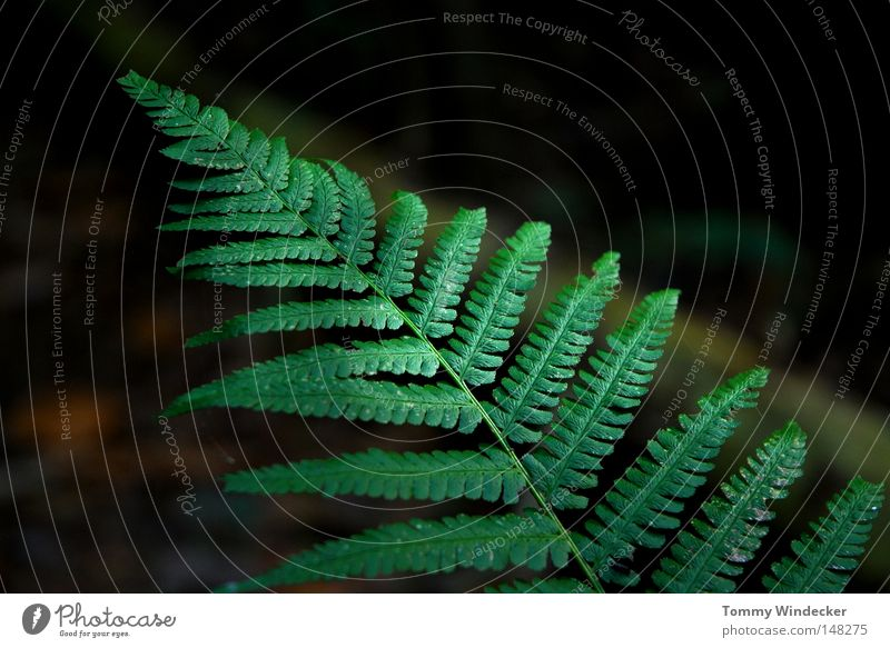Numero 100 Plant Pteridopsida Fern Fern leaf Woodground Botany Environmental protection Biology Ecological Marsh Rachis Growth Maturing time Virgin forest