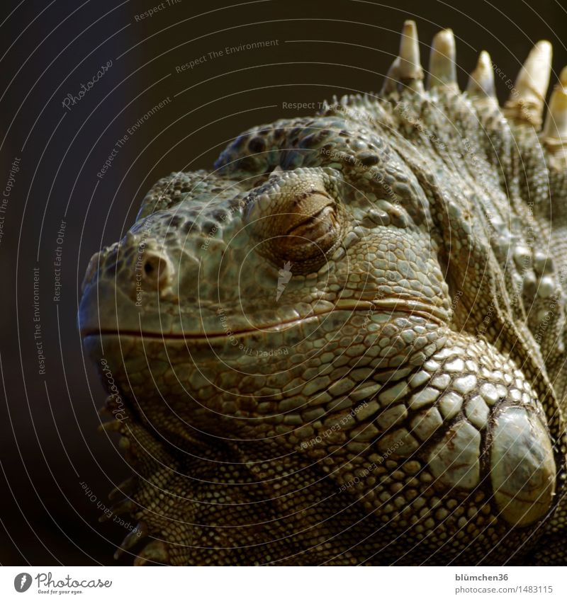 I fell out of time. Dragon. Animal Wild animal Animal face Green Iguana Reptiles Saurians Sleep Exotic Natural Thorny Scales Dinosaur Primitive times Terrarium