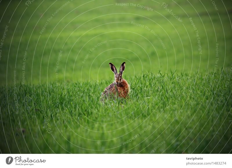 wild hare in green field Hunting Summer Easter Nature Animal Grass Meadow Fur coat Sit Natural Cute Speed Wild Brown Green Watchfulness Loneliness wildlife