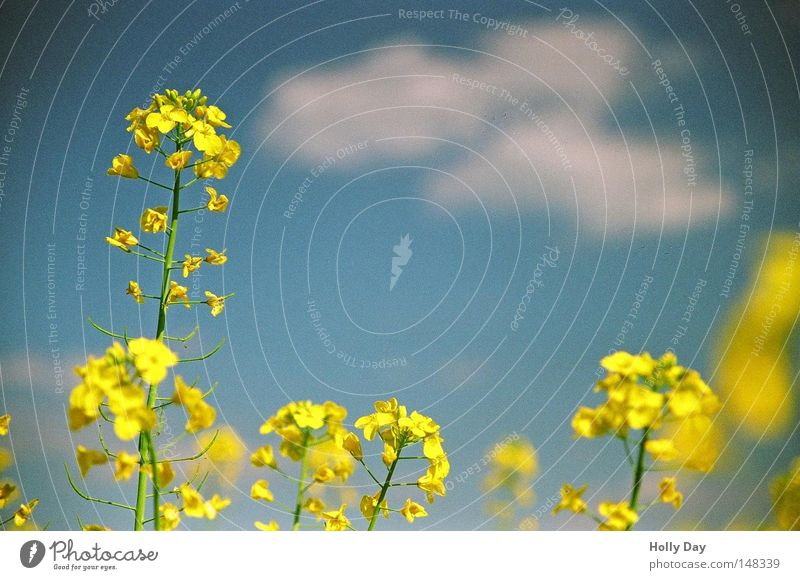 White Blue Summer Clouds Yellow Life Blossom Field Tall Growth Harvest Difference Canola