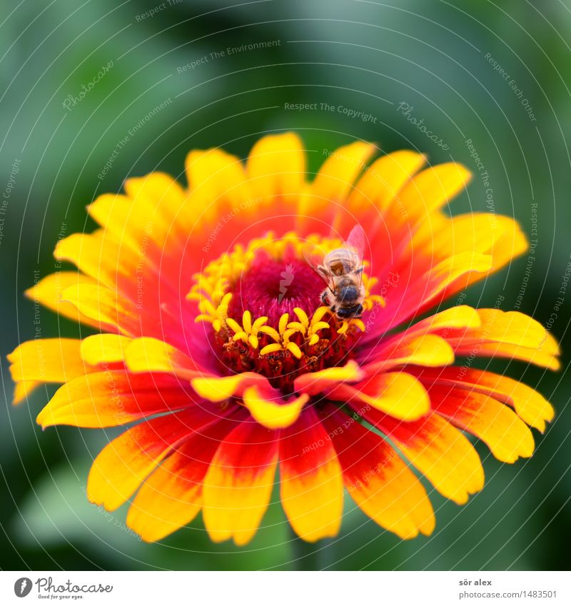 fiery red Environment Nature Plant Summer Flower Blossom Pollen Pistil Insect Hover fly 1 Animal Yellow Red Colour photo Multicoloured Macro (Extreme close-up)