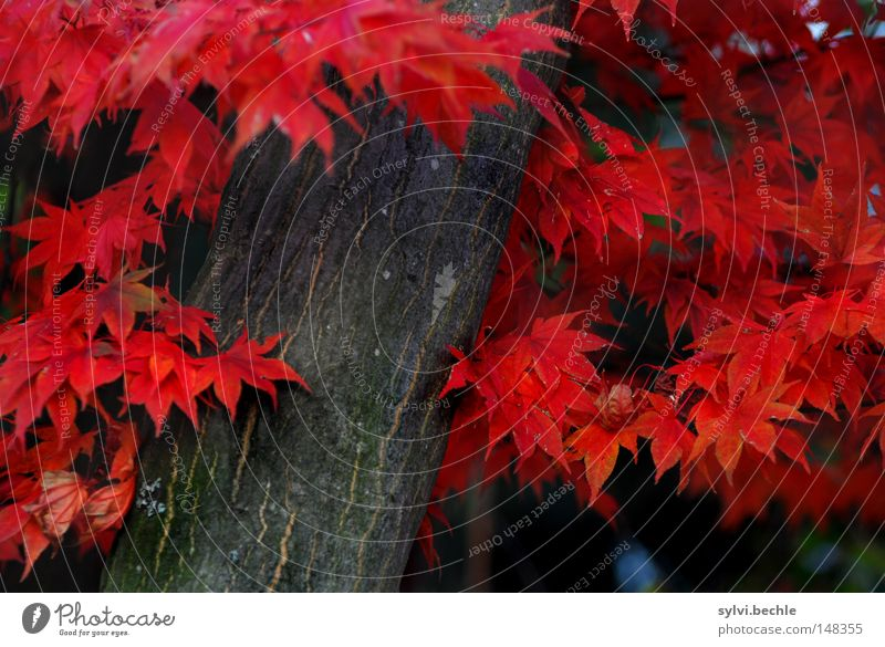 Nature Beautiful Tree Red Colour Leaf Autumn Crazy Stand Transience To fall Seasons Tree trunk Autumn leaves Past Autumnal
