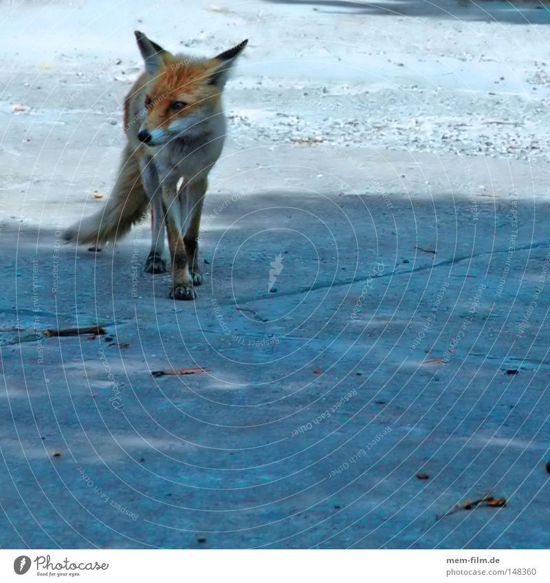Red Wild animal Ear Pelt Mammal Smart Snout Fox Land-based carnivore Jacksaw