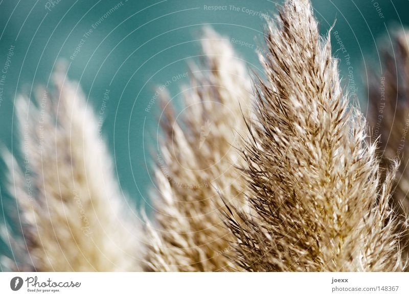 Duster nature. Blue Breeze Pampas grass Easy Ease Rustling Hissing Velvety Smooth Summer Summery Sweet grass Uruguay Physics Soft Wind Beautiful weather