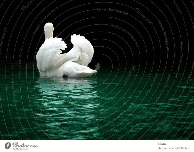 Water White Animal Black Movement Lake Bird Power Flying Elegant Success Esthetic Drops of water Force Feather Wing