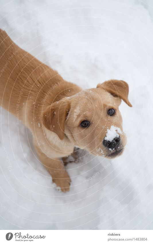 snow nose Environment Nature Winter Snow Snowfall Forest Animal Pet Dog 1 Baby animal Observe Discover Looking Playing Wait Friendliness Fresh Curiosity Cute