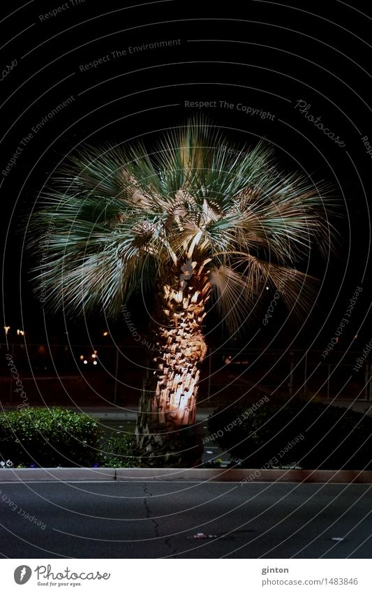 Palm in the night Vacation & Travel Plant Tree Leaf Street Dark Night shot Palm tree palm growth Arecaceae Palmae ornamental tree voyage Lighting Floodlight
