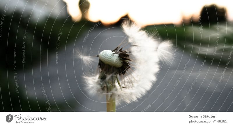 Hand White Green Summer Autumn Spring Air Wind Field Mouth Fresh Agriculture Pasture Dandelion Stalk Blow