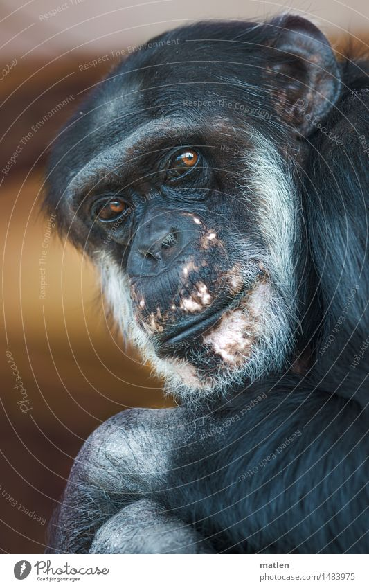 passport photo Animal Animal face Pelt 1 Brown Pink Black White Monkeys Chimpanzee Looking haunting Looking into the camera for life Posture Colour photo