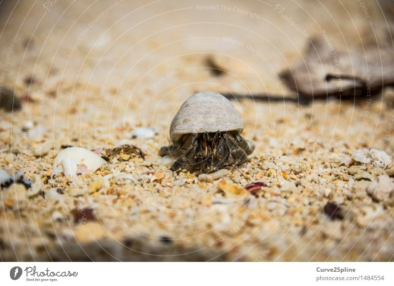 Mr. Crab Nature Sand Coast Beach Ocean Crawl Shellfish Shrimp Sandy beach Protection Mussel Mussel shell Animal Grain of sand Seafood Marine animal Small