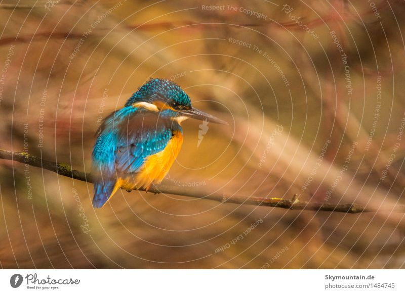 Kingfisher in the cloud Environment Nature Plant Animal Tree Bushes Lakeside River bank Bog Marsh Pond Brook Bird Animal face Wing 1 Blue Brown Yellow Gold