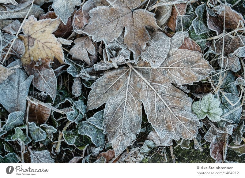 Slightly frosty 3 Environment Nature Plant Autumn Winter Ice Frost Grass Leaf Garden Freeze Lie To dry up Cold Wet Natural Dry Transience Change Limp