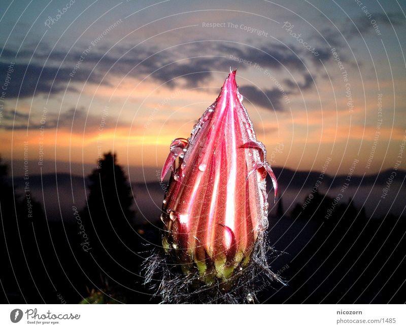 Cactus blossom in the rain Cactus flower Sunrise Blossom Rain