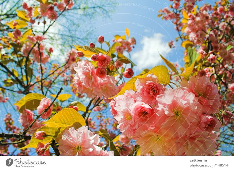 resistance Spring Blossom Blossoming Flower Cherry blossom Blossom leave Hope Sky Horticulture Agriculture Gardener Green Plant Beautiful Noble Street boundary