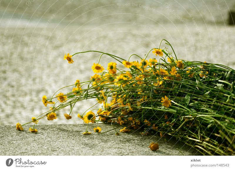 marigolds Marigold Flower Wild romantic abandonment Sadness Nostalgia Yellow Green Ground Forget forgive Surprise Passion in love