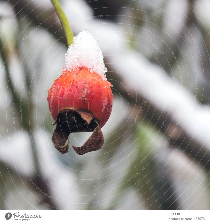 rose hip Nature Plant Water Winter Weather Ice Frost Snow Snowfall Rose Rosehip of the climbing rose Garden Park Beautiful Cold Small Natural Cute Brown Green