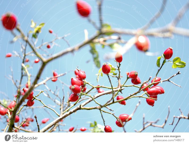 squeamish Sun Berries Rose hip Branch Twig Spring Summer Harvest Mature Green Maturing time Growth Plant Biology Sky Blue Red Delicate Bright Dog rose