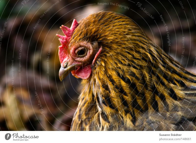 Boaaaaggg!Boaaaaggg! Barn fowl Zoo Chemnitz Feather Egg Scrambled eggs Delicious Salt Cooking salt Pepper Rooster Chinese Crisp Fresh Lunch Livestock Cluck