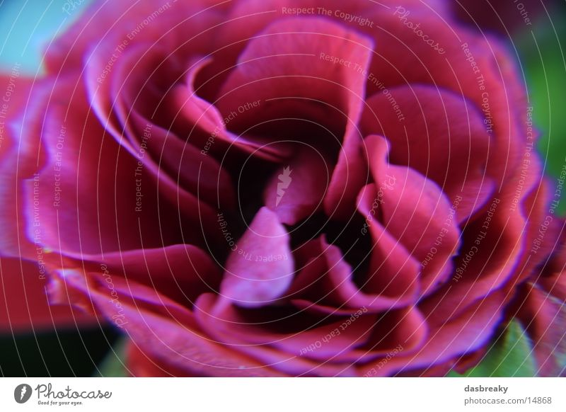 Flower Macro Rose Red Macro (Extreme close-up) Detail Close-up Colour