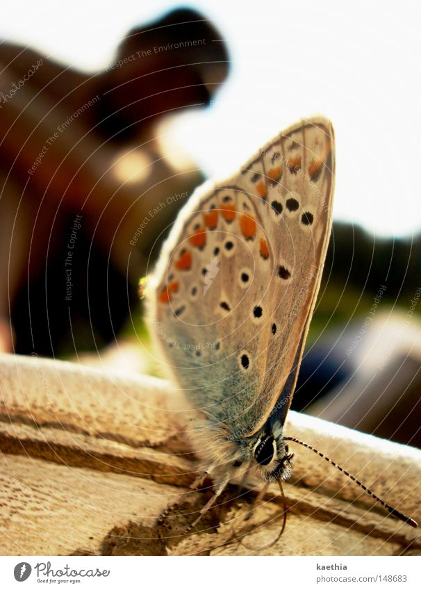 approximation attempts Beautiful Summer Animal Butterfly Break Wild animal Wing Nature Blue Lycaeides idas Wait Subdued colour Detail Macro (Extreme close-up)