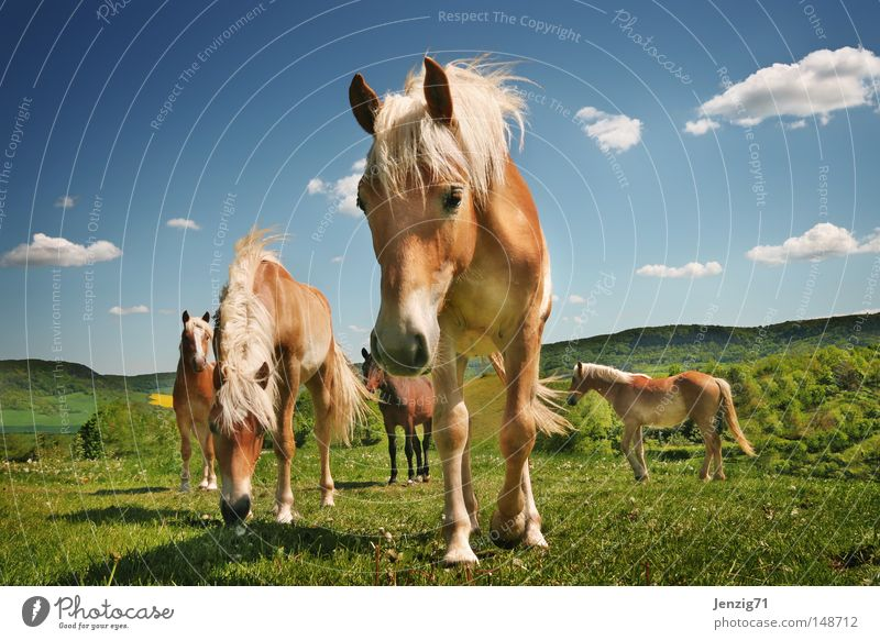 Sky Clouds Meadow Horse Pasture Mammal Ride Herd Mane Hoof Haflinger Riding stable Horse's head Horse breeding