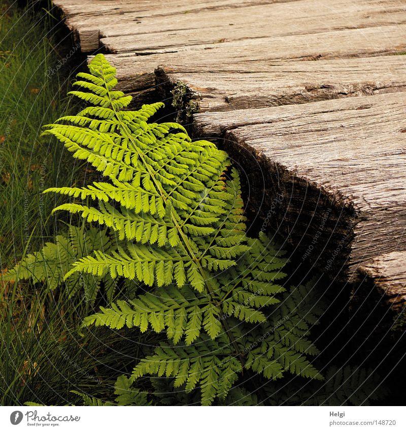 fresh green fern leaf grows on a wooden bridge Wood Lanes & trails Wooden board Old Weathered Oak tree Bog Fen Texture of wood Brown Fern Plant Nature Leaf
