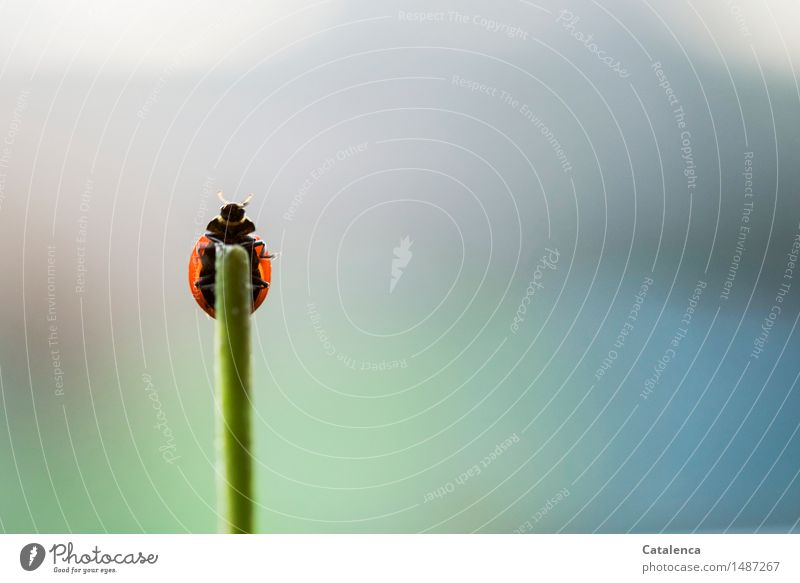 Ready for departure Nature Plant Animal Air Stalk Wild animal Beetle Ladybird Insect 1 Flying Crawl Esthetic Blue Green Red Black Happy Resolve Colour photo