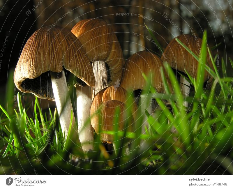 noch´n pils(z)? Food Nutrition Grass Meadow Stand Growth Small Delicious Brown Green Mushroom Lighting Ground Lamella Stalk Colour photo Multicoloured