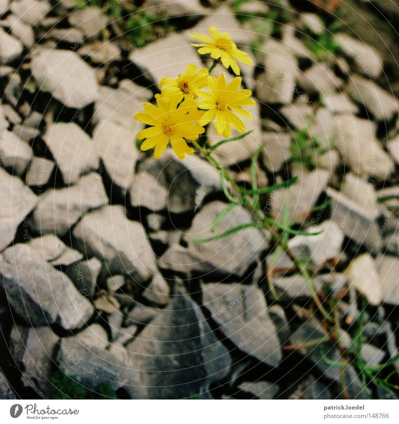 Nature Flower Green Plant Calm Loneliness Yellow Blossom Spring Gray Stone Power Rock Earth Fight Foliage plant