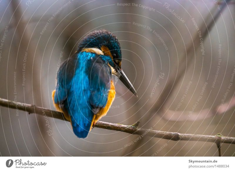 Also a blue back ... Environment Nature Plant Animal Tree Coast Lakeside River bank Beach Pond Brook Wild animal Bird Animal face Wing kingfisher 1 Blue Brown