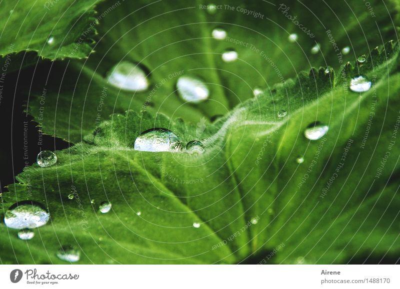 rain shelter Elements Water Drops of water Spring Weather Rain Plant Leaf Foliage plant Alchemilla vulgaris Alchemilla leaves Glittering Fresh Healthy Wet Green